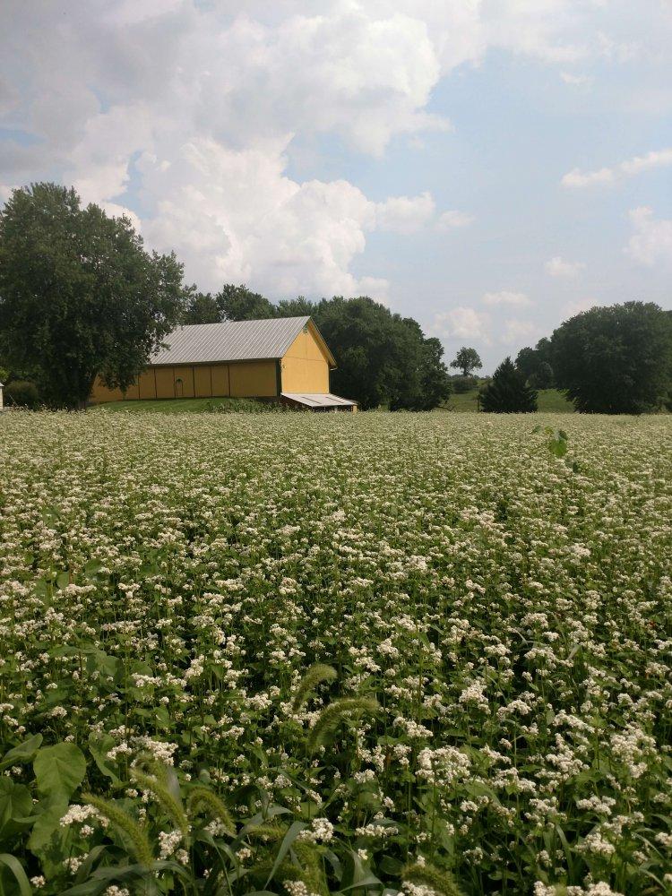 Buckweat field at the Historic Alexander Schaeffer Farm - Summer 2018
